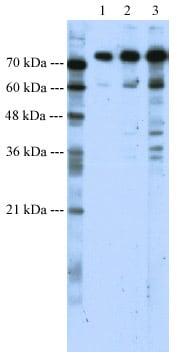 Western blot - Anti-SATB1 antibody (ab49061)