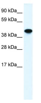 Western blot - Anti-Non Neuronal Enolase antibody (ab49343)