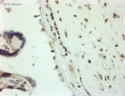 Immunohistochemistry (Formalin/PFA-fixed paraffin-embedded sections) - Anti-Sumo 1 antibody (ab49767)