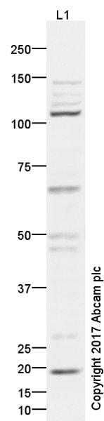 Western blot - Anti-Argonaute-2 antibody (ab5072)