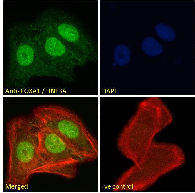Immunocytochemistry - Anti-FOXA1 antibody (ab5089)