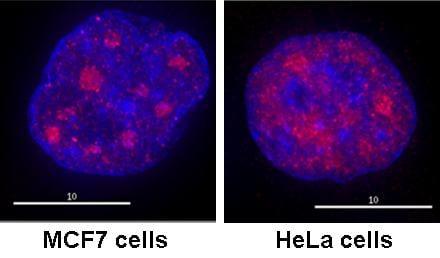 Immunocytochemistry - Anti-RNA polymerase II CTD repeat YSPTSPS (phospho S2) antibody (ab5095)