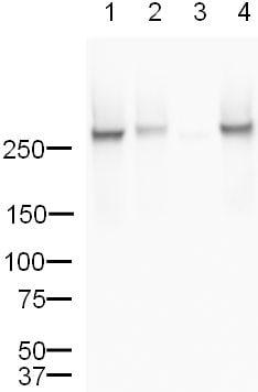 Western blot - Anti-RNA polymerase II CTD repeat YSPTSPS (phospho S5) antibody - ChIP Grade (ab5131)