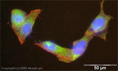 Immunocytochemistry/ Immunofluorescence - Anti-HIPPI/IFT57 antibody (ab5205)