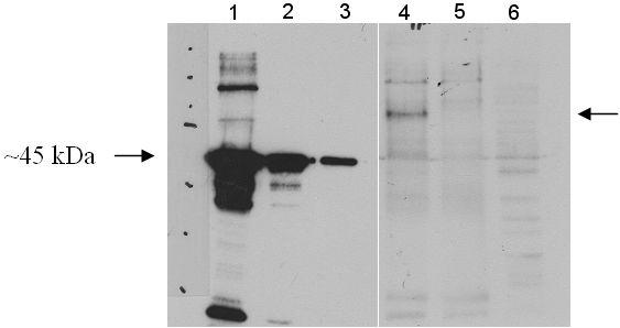 Western blot - Anti-HIPPI/IFT57 antibody (ab5205)