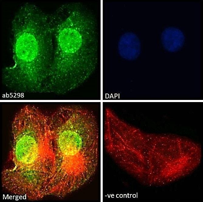 Immunocytochemistry/ Immunofluorescence - Anti-ILF1 antibody (ab5298)