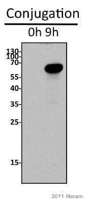 Western blot - Anti-Pdd1 antibody (ab5338)