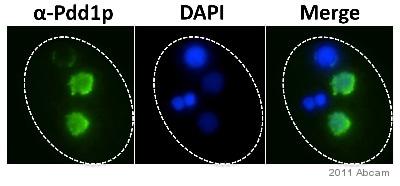 Immunocytochemistry/ Immunofluorescence - Anti-Pdd1 antibody (ab5338)