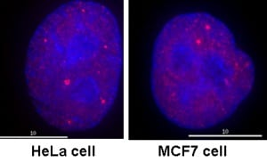 Immunocytochemistry/ Immunofluorescence - Anti-RNA polymerase II CTD repeat YSPTSPS (phospho S5) antibody [4H8] - ChIP Grade (ab5408)
