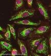 Immunocytochemistry/ Immunofluorescence - Anti-ATPB antibody [4.3E8.D10] - Mitochondrial Marker (ab5432)