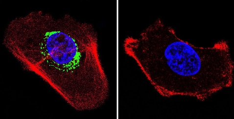 Immunocytochemistry/ Immunofluorescence - Anti-ATPB antibody [4.3E8.D10] (ab5432)