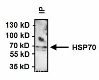 Immunoprecipitation - Anti-Hsp70 antibody [2A4] (ab5442)