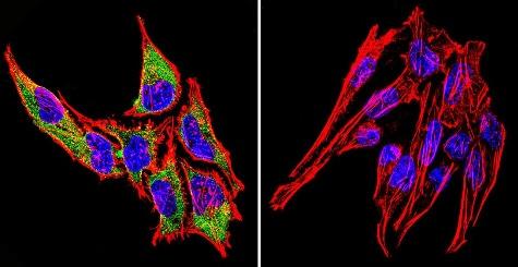Immunocytochemistry/ Immunofluorescence - Anti-Hsp70 antibody [2A4] (ab5442)
