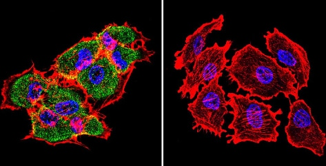 Immunocytochemistry/ Immunofluorescence - Anti-Hsp70 [4G4] antibody (ab5444)
