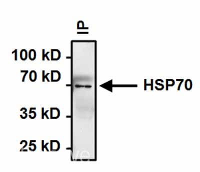 Immunoprecipitation - Anti-Hsp70 antibody [4G4] (ab5444)
