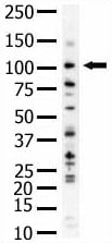 Western blot - Anti-PI 3 Kinase Class 3 antibody (ab5451)