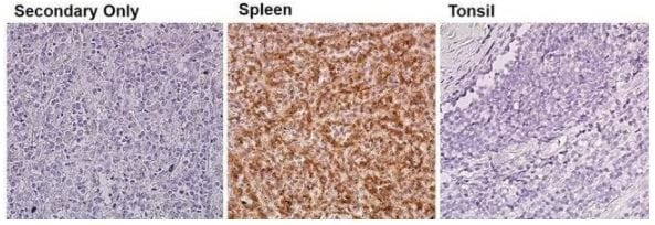 Immunohistochemistry (Formalin/PFA-fixed paraffin-embedded sections) - Anti-eNOS antibody (ab5589)