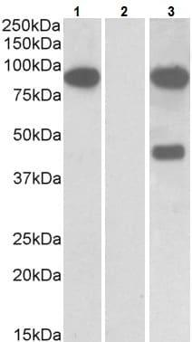 Western blot - Anti-NUMBL antibody (ab5641)