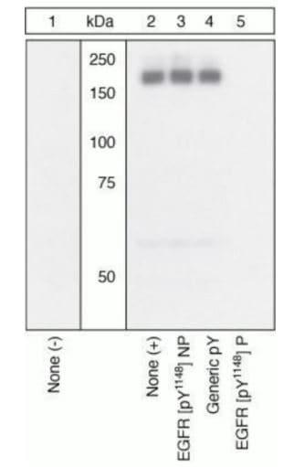 Western blot - Anti-EGFR (phospho Y1148) antibody (ab5651)