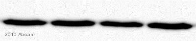 Western blot - Goat F(ab')2 Anti-Mouse IgM mu chain (Biotin) (ab5929)
