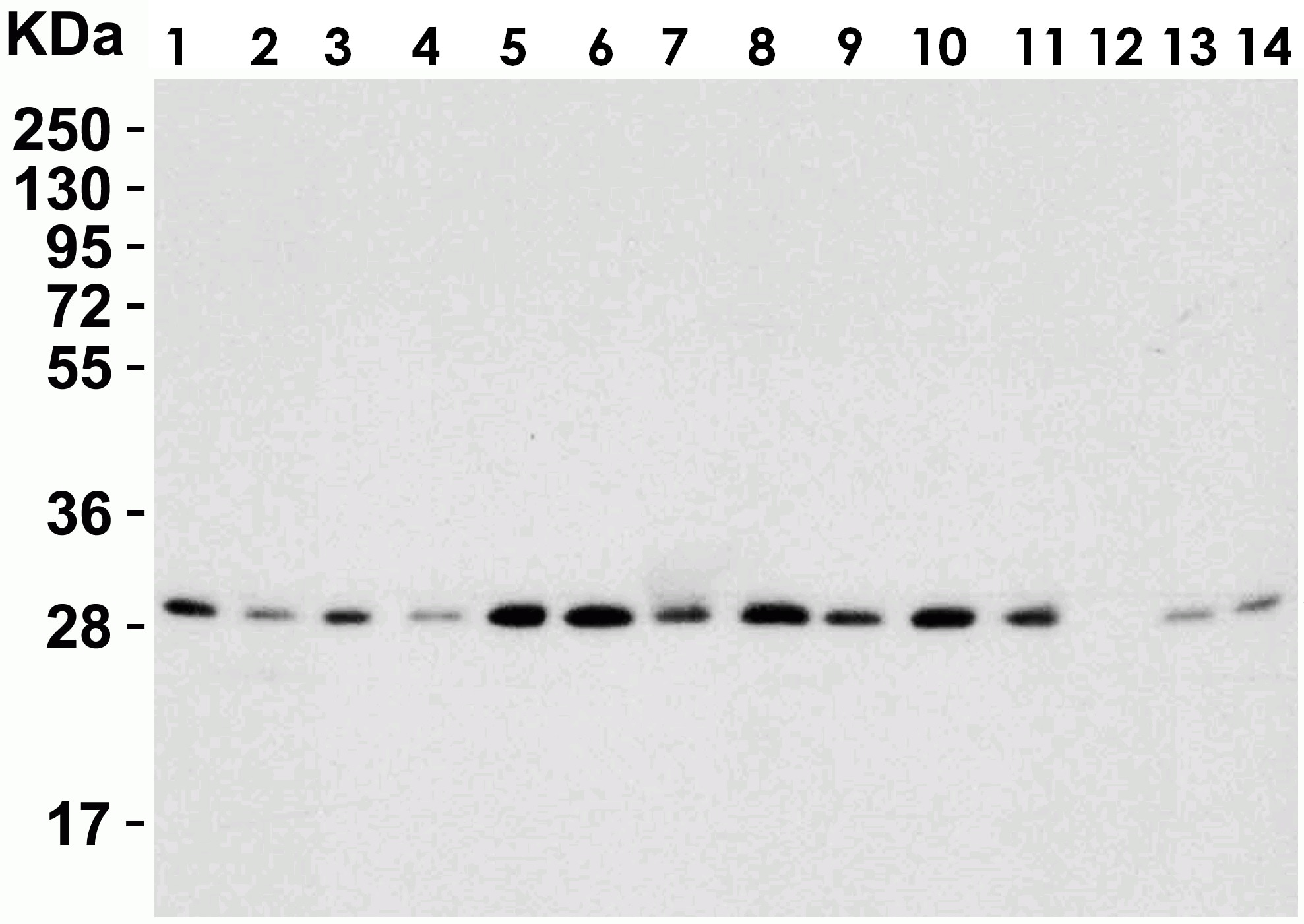 Western blot - Anti-PHAP1 antibody (ab5991)