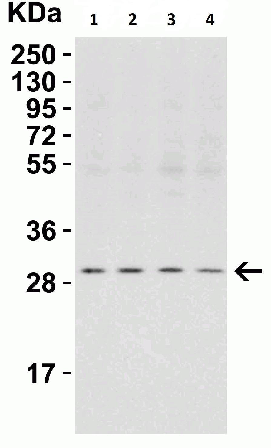 Western blot - Anti-PHAP1 antibody (ab5992)