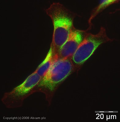 Immunocytochemistry/ Immunofluorescence - Anti-TMEFF2 antibody (ab50002)