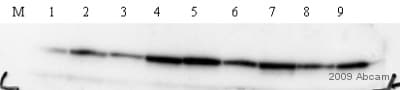 Western blot - Anti-STAT3 antibody [STAAD22A] (ab50761)