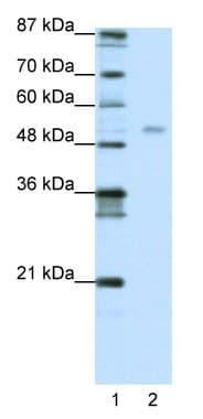 Western blot - Anti-TEAD4 antibody (ab50945)