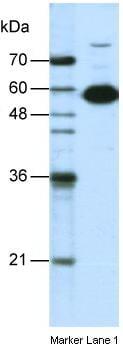 Western blot - Anti-nmt55 / p54nrb antibody (ab50952)