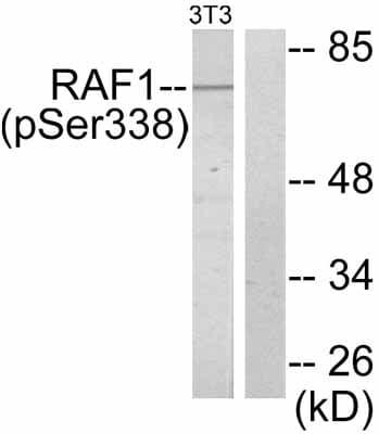 Western blot - Anti-Raf1 (phospho S338) antibody (ab51042)