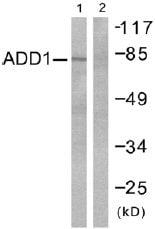 Western blot - alpha Adducin antibody (ab51130)