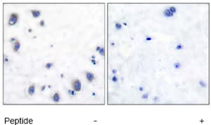 Immunohistochemistry (Formalin/PFA-fixed paraffin-embedded sections) - Anti-Tyrosine Hydroxylase antibody (ab51199)