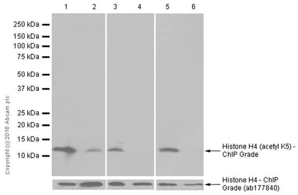 免疫印迹-抗组蛋白H4(乙酰基K5)抗体[EP1000Y]-芯片级(ab51997)