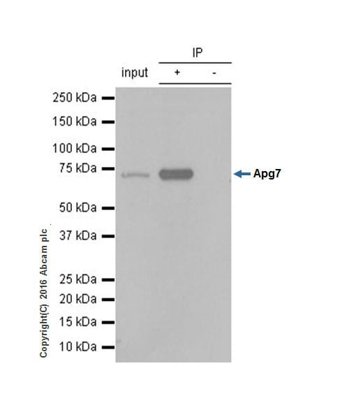 Immunoprecipitation - Anti-ATG7 antibody [EP1759Y] (ab52472)