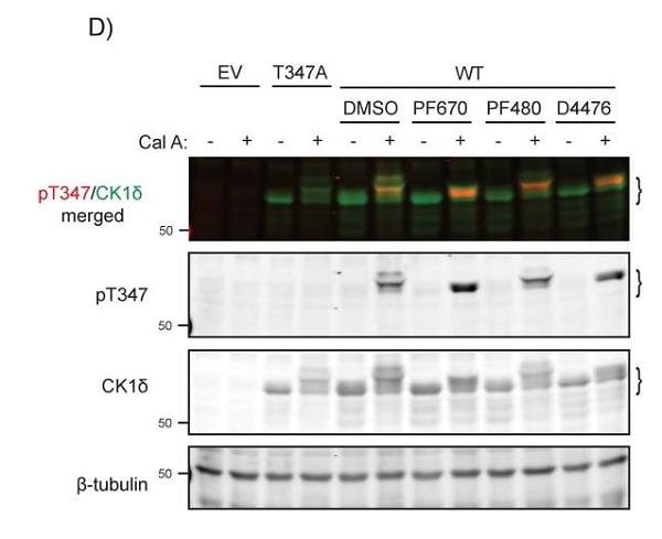 免疫印迹-抗βIII微管蛋白抗体[EP1569Y](ab52623)