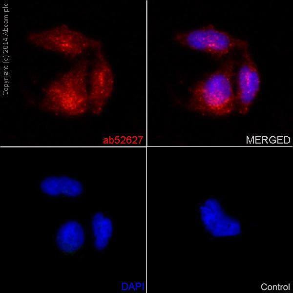 Immunocytochemistry/ Immunofluorescence - Anti-Notch1 antibody [EP1238Y] (ab52627)