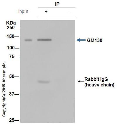 免疫沉淀-抗GM130抗体[EP892Y]-顺式高尔基标记(ab52649)