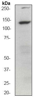 免疫印迹-抗GM130抗体[EP892Y]-顺式高尔基标记(ab52649)