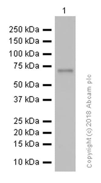 Western blot - Anti-YAP1 antibody [EP1674Y] (ab52771)