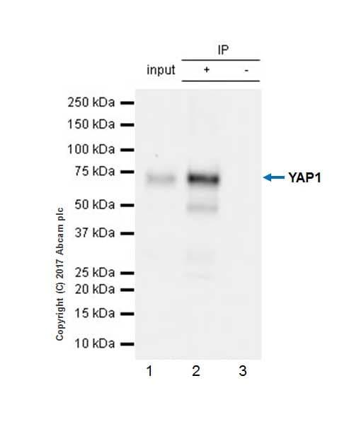 Immunoprecipitation - Anti-YAP1 antibody [EP1674Y] (ab52771)