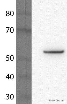 β-EP1Ep90E免疫印迹抗体