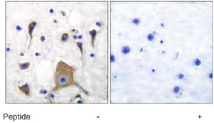 Immunohistochemistry (Formalin/PFA-fixed paraffin-embedded sections) - Anti-Metabotropic Glutamate Receptor 5 antibody (ab53090)