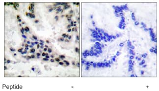 Immunohistochemistry (Paraffin-embedded sections) - HDAC1 antibody (ab53091)