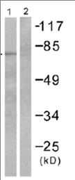 Western blot - Anti-Grp75 antibody (ab53098)