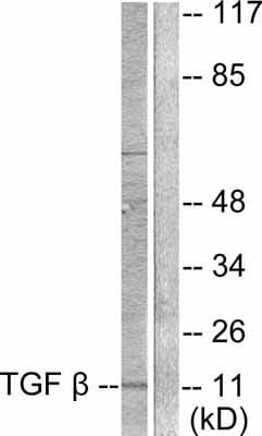 Western blot - Anti-TGF beta 3 antibody (ab53727)