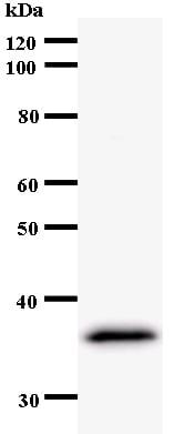 Western blot - Anti-Host cell factor C2 antibody [192D3a] (ab54280)