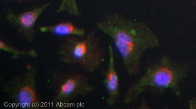 Immunocytochemistry/ Immunofluorescence - Anti-Fibulin 1 antibody (ab54652)