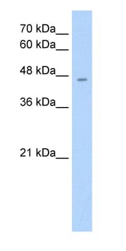 Western blot - Anti-RHAG antibody (ab55911)