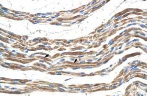 Immunohistochemistry (Formalin/PFA-fixed paraffin-embedded sections) - Anti-Pannexin 2 antibody (ab55917)